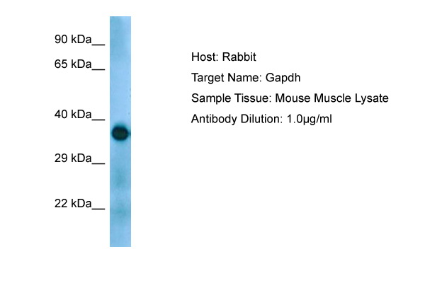 GAPDH Antibody -  This image was taken for the unconjugated form of this product. Other forms have not been tested.