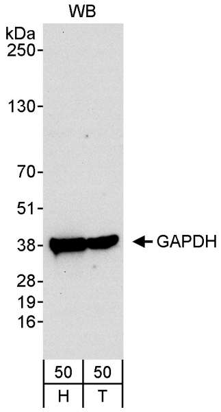 Detection of Human GAPDH by Western Blot. Samples: Whole cell lysate (50 ug) from HeLa (H) and 293T (50 ug) cells. Antibody: Affinity purified rabbit anti-GAPDH antibody used at 0.04 ug/ml. Detection: Chemiluminescence with an exposure time of 30 seconds.