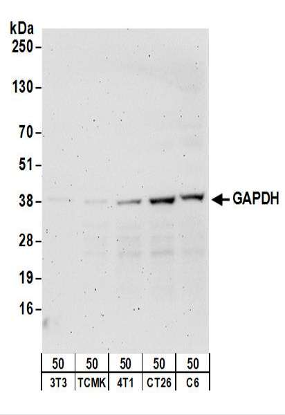 Detection of Mouse and Rat GAPDH by Western Blot. Samples: Whole cell lysate (50 ug) from NIH3T3, TCMK-1, 4T1, CT26.WT, and rat C6 cells. Antibodies: Affinity purified rabbit anti-GAPDH antibody used for WB at 0.5 ug/ml. Detection: Chemiluminescence with an exposure time of 3 minutes.