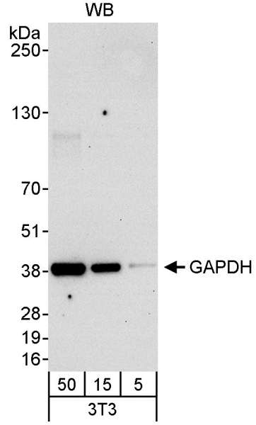 Detection of Mouse GAPDH by Western Blot. Samples: Whole cell lysate (5, 15 and 50 ug) from mouse NIH3T3 cells. Antibody: Affinity purified rabbit anti-GAPDH antibody used at 0.04 ug/ml. Detection: Chemiluminescence with an exposure time of 30 seconds.