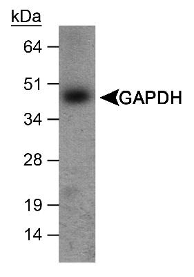 Detection of GAPDH in mouse liver.