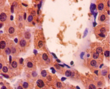 Immunohistochemistry with GADPH antibody at a 1:50 dilution on paraffin-embdeed mouse liver