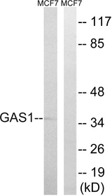 Western blot analysis of lysates from MCF-7 cells, using GAS1 Antibody. The lane on the right is blocked with the synthesized peptide.