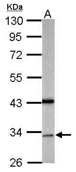 Sample (50 ug of whole cell lysate). A: mouse brain. 10% SDS PAGE. GAS2L1 antibody diluted at 1:500.