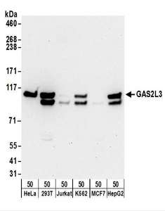 GAS2L3 Antibody - Detection of Human GAS2L3 by Western Blot. Samples: Whole cell lysate (50 ug) from HeLa, 293T, Jurkat, K562, MCF7, and Hep G2 cells. Antibodies: Affinity purified rabbit anti-GAS2L3 antibody used for WB at 0.1 ug/ml. Detection: Chemiluminescence with an exposure time of 30 seconds.