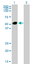Western Blot analysis of GATA2 expression in transfected 293T cell line by GATA2 monoclonal antibody (M01), clone 2D11.Lane 1: GATA2 transfected lysate(50.5 KDa).Lane 2: Non-transfected lysate.