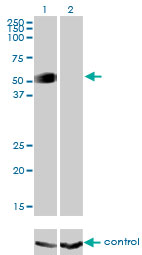 Western blot analysis of GATA2 over-expressed 293 cell line, cotransfected with GATA2 Validated Chimera RNAi (Lane 2) or non-transfected control (Lane 1). Blot probed with GATA2 monoclonal antibody (M01), clone 2D11 . GAPDH ( 36.1 kDa ) used as specificity and loading control.