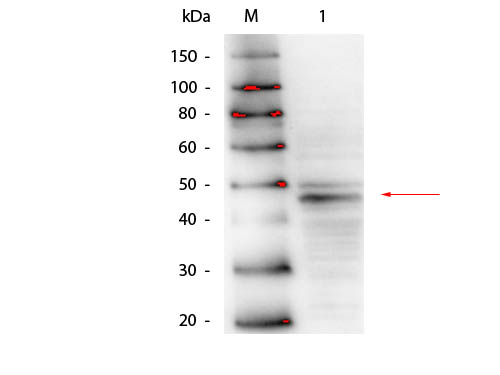 GATA4 Antibody - Western Blot of Mouse anti-GATA4 Antibody. Lane 1: CCRF-CEM Lysate. Load: 25 µg per lane. Primary antibody: GATA-4 antibody at 1:500 overnight at 4°C. Secondary antibody: HRP mouse antibody at 1:40,000 for 30 min at RT. Block: MB-070 for 30 min at RT. Predicted/Observed size: 44.5 kDa, 44.5 kDa for GATA4.