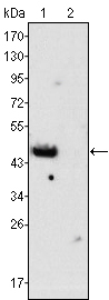 Western blot using GATA4 mouse monoclonal antibody against rat fetal heart (1) and adult heart (2) tissues lysate.