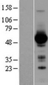 GATA4 Protein - Western validation with an anti-DDK antibody * L: Control HEK293 lysate R: Over-expression lysate