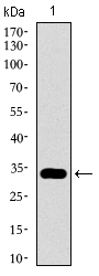 Western blot using GATA6 monoclonal antibody against human GATA6 recombinant protein. (Expected MW is 32.3 kDa)