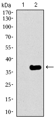 Western blot using GATA6 monoclonal antibody against HEK293 (1) and GATA6 (AA: 491-557)-hIgGFc transfected HEK293 (2) cell lysate.
