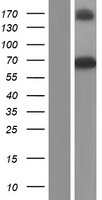 GBP3 Protein - Western validation with an anti-DDK antibody * L: Control HEK293 lysate R: Over-expression lysate