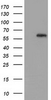 GBP5 Antibody - HEK293T cells were transfected with the pCMV6-ENTRY control (Left lane) or pCMV6-ENTRY GBP5 (Right lane) cDNA for 48 hrs and lysed. Equivalent amounts of cell lysates (5 ug per lane) were separated by SDS-PAGE and immunoblotted with anti-GBP5.