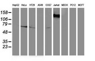 GBP5 Antibody - Western blot of extracts (35 ug) from 9 different cell lines by using anti-GBP5 monoclonal antibody.