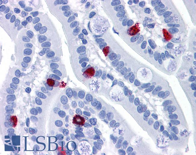 Anti-GCC2 antibody IHC of human small intestine. Immunohistochemistry of formalin-fixed, paraffin-embedded tissue after heat-induced antigen retrieval. Antibody LS-B4938 concentration 3.75 ug/ml.