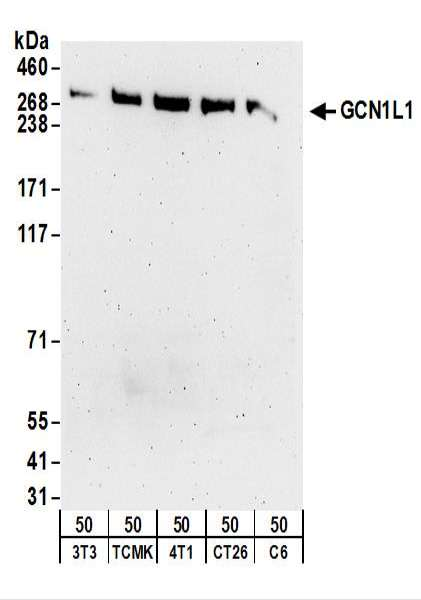Detection of Mouse and Rat GCN1L1 by Western Blot. Samples: Whole cell lysate (50 ug) from NIH3T3, TCMK-1, 4T1, CT26.WT, and rat C6 cells. Antibodies: Affinity purified rabbit anti-GCN1L1 antibody used for WB at 0.5 ug/ml. Detection: Chemiluminescence with an exposure time of 3 minutes.