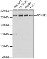 Western blot analysis of extracts of various cell lines, using GCN1L1 antibody at 1:3000 dilution. The secondary antibody used was an HRP Goat Anti-Rabbit IgG (H+L) at 1:10000 dilution. Lysates were loaded 25ug per lane and 3% nonfat dry milk in TBST was used for blocking. An ECL Kit was used for detection and the exposure time was 30s.