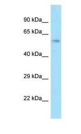 GCP60 / ACBD3 Antibody - GCP60 / ACBD3 antibody Western Blot of Rat Liver. Antibody dilution: 1 ug/ml.  This image was taken for the unconjugated form of this product. Other forms have not been tested.