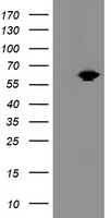 HEK293T cells were transfected with the pCMV6-ENTRY control (Left lane) or pCMV6-ENTRY ACBD3 (Right lane) cDNA for 48 hrs and lysed. Equivalent amounts of cell lysates (5 ug per lane) were separated by SDS-PAGE and immunoblotted with anti-ACBD3.