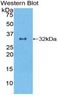 Western blot of recombinant GDF11 / GDF-11.  This image was taken for the unconjugated form of this product. Other forms have not been tested.