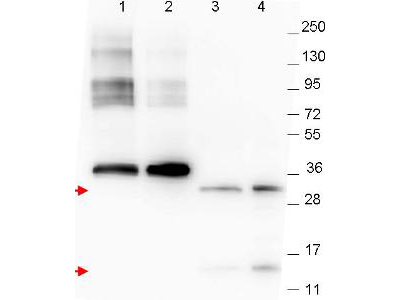 GDF15 Antibody - Western blot using the anti-NAG-1 monoclonal antibody. The blot shows detection of recombinant NAG-1 protein present in Pichia pastoris whole cell lysates: lane 1 - yeast cell lysate expressing NAG-1 H variant with SUMO expression tag, lane 2 - yeast cell lysate expressing NAG-1 D variant with SUMO expression tag, lane 3 - yeast cell lysate expressing NAG-1 H variant and lane 4 - yeast cell lysate expressing NAG-1 D variant. Recombinant NAG-1 proteins correspond to 32 kDa and 16 kDa bands as indicated by the arrowheads. All lysates were run under reducing conditions. Primary antibody was used at a 1:1,000 dilution in TBS containg 1% BSA and 0.2% Tween, and reacted overnight at 4°C. Detection occurred using a 1:40,000 dilution of peroxidase conjugated Gt-a-Mouse IgG secondary antibody in Blocking Buffer for Fluorescent Western Blotting (MB-070) for 30 min at room temperature. Molecular weight estimation was made by comparison to prestained MW markers. Image was captured using the BioRad Versadoc 4000MP Imaging System. Other detection systems will yield similar results.