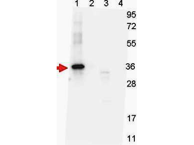 GDF15 Antibody - Western blot shows detection of recombinant NAG-1 protein present in Pichia pastoris whole cell lysates: lane 1 - yeast cell lysate expressing NAG-1 H variant with SUMO expression tag at 36 kDa; lane 2 - yeast cell lysate expressing NAG-1 D variant with SUMO expression tag at 36 kDa; lane 3 - yeast cell lysate expressing NAG-1 H variant; and lane 4 - yeast cell lysate expressing NAG-1 D variant. All lysates were run under reducing conditions. Primary antibody was used at a 1:1,000 dilution in TBS containing 1% BSA and 0.2% Tween, and reacted overnight at 4°C. For detection, a 1:40,000 dilution of peroxidase conjugated Gt-a-Mouse IgG secondary antibody was used in Blocking Buffer for Fluorescent Western Blotting (MB-070) for 30 min at room temperature. Molecular weight estimation was made by comparison to prestained MW markers. Image was captured using the BioRad Versadoc 4000MP Imaging System.