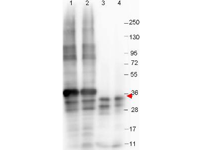 Anti-NAG-1 (N-terminal specific) Monoclonal Antibody - Western Blot. Western blot shows detection of recombinant NAG-1 protein (arrow) present in Pichia pastoris whole cell lysates: lane 1 - yeast cell lysate expressing NAG-1 H variant with SUMO expression tag at 36 kD; lane 2 - yeast cell lysate expressing NAG-1 D variant with SUMO expression tag at 36 kD; lane 3 - yeast cell lysate expressing NAG-1 H variant; and lane 4 - yeast cell lysate expressing NAG-1 D variant. All lysates were run under reducing conditions. Primary antibody was used at a 1:1000 dilution in TBS containing 1% BSA and 0.2% Tween, and reacted overnight at 4°C. For detection, a 1:40000 dilution of peroxidase conjugated Gt-a-Mouse IgG secondary antibody (LS-C60680) was used in Blocking Buffer for Fluorescent Western Blot (MB-070) for 30 min at room temperature. Molecular weight estimation was made by comparison to prestained MW markers. Image was captured using the BioRad Versadoc 4000MP Imaging System.