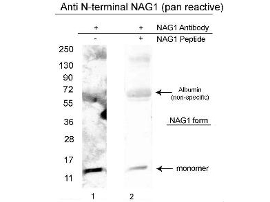 Anti-NAG-1/GDF15 (N-terminal specific) Antibody - Western Blot. Western blot of affinity purified anti-NAG-1/GDF15 (N-terminal specific) antibody shows detection of a 14 kD band corresponding to recombinant human NAG-1 purified from CHO cells. Samples were electrophoresed on a 4-20% gradient gel under reducing conditions. Lane 1 shows NAG-1 detection. Lane 2 shows reactivity is greatly diminished when this antibody is preincubated with the immunizing peptide prior to Western blotting.