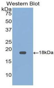 Western blot of recombinant GDF9 / GDF-9.  This image was taken for the unconjugated form of this product. Other forms have not been tested.