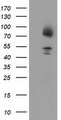 HEK293T cells were transfected with the pCMV6-ENTRY control (Left lane) or pCMV6-ENTRY GPHN (Right lane) cDNA for 48 hrs and lysed. Equivalent amounts of cell lysates (5 ug per lane) were separated by SDS-PAGE and immunoblotted with anti-GPHN.