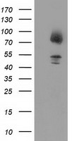 Gephyrin Antibody - HEK293T cells were transfected with the pCMV6-ENTRY control (Left lane) or pCMV6-ENTRY GPHN (Right lane) cDNA for 48 hrs and lysed. Equivalent amounts of cell lysates (5 ug per lane) were separated by SDS-PAGE and immunoblotted with anti-GPHN.