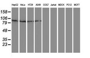 Gephyrin Antibody - Western blot of extracts (35 ug) from 9 different cell lines by using anti-GPHN monoclonal antibody.