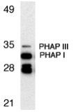 Gestrinone Antibody - Western blot analysis of PHAP expression in Raji cell lysate with PHAP antibody at 1µg/ml. The two bands below PHAP I might be differently spliced isoforms of PHAP.