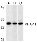 Gestrinone Antibody - Western blot analysis of PHAP I expression in human Raji cell (A), mouse (B) and rat (C) testis tissue lysates with PHAP I antibody at 1µg/ml.