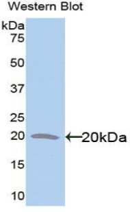 Western blot of recombinant GFAP.  This image was taken for the unconjugated form of this product. Other forms have not been tested.