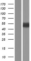 GFAP Protein - Western validation with an anti-DDK antibody * L: Control HEK293 lysate R: Over-expression lysate