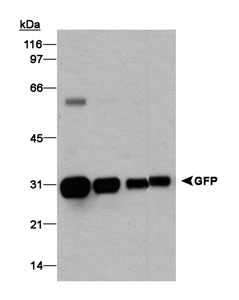 GFP Antibody - Detection of GFP in Western blot. Lane 1: A549 + 500 ng GFP. Lane 2: A549 + 100 ng GFP. Lane 3: A549 + 20 ng GFP. Lane 4:20 ng GFP. 10 ug of lysate were loaded and the primary dilution was 1:2000. ECL detection was a 20 second exposure.  This image was taken for the unconjugated form of this product. Other forms have not been tested.