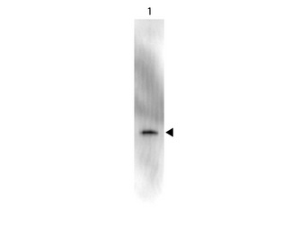 GFP Antibody - Peroxidase - Western Blot. Western Blot showing detection of Green Fluorescent Protein (GFP). 50 ng of GFP (Lane 1) was run on a 4-20% gel and transferred to 0.45 micron nitrocellulose. After blocking with 1% BSA-TTBS (MB-013, diluted to 1X) 30 min at 20?, Anti-GFP (MOUSE) Monoclonal Antibody Peroxidase Conjugate Anti-GFP (MOUSE) Monoclonal Antibody Peroxidase Conjugate - 600-303-215 secondary antibody was used at 1:1000 in Blocking Buffer for Fluorescent Western Blot (p/n MB-070) and imaged using the Bio-Rad VersaDoc 4000 MP. Arrow indicates correct 28 kD molecular weight position expected for GFP. This image was taken for the unconjugated form of this product. Other forms have not been tested.