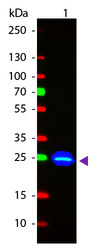 GFP Antibody - Anti-GFP Antibody - Immunofluorescence Microscopy. polyclonal anti-GFP antibody at a 1:1000 dilution detects tau-GFP in cell bodies (large arrowhead) and axons of motorneurons (arrow) and interneurons (small arrowhead) in Drosophila melanogaster late stage embryonic central nervous system. Fluorochrome conjugated anti-Goat secondary antibody was used for detection at 1:300. Panel A shows a lateral view (ventral left) and Panels B and C show ventral views of whole mount embryos at 63x magnification (plus 2x digital zoom). In all panels, anterior is up. Personal Communication, Helmata Mistry, Washington University School of Medicine, St. Louis, MO. This image was taken for the unconjugated form of this product. Other forms have not been tested.