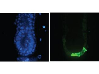 GFP Antibody - Immunofluorescence Microscopy of Anti-GFP (GOAT) Antibody. Tissue: E5.5 Hex-GFP transgenic mouse embryo. Primary antibody: Goat anti-GFP was used at 1:500 dilution. Secondary antibody: Fluorchrome conjugated Anti-goat IgG secondary antibody at 1:10,000 for 45 min at RT. Staining: GFP as green fluorescent signal with DAPI blue counterstain.