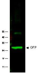 GFP Antibody - Western blot of Rabbit anti-GFP antibody. Lane 1: Wild type GFP (0.1 g) was used to spike HeLa whole cell lysate. Lane 2: none. Load: 30 ug per lane. Primary antibody: GFP antibody at 1:1000 for overnight at 4C. Secondary antibody: IRDye800 Goat-a-Rabbit IgG [H&L] MX10 (611-132-122) at 1:10000 for 45 min at RT. Block: 5% BLOTTO in PBS overnight at 4C. Predicted/Observed size: 27 kDa for epitope tag GFP. Other band(s): none.