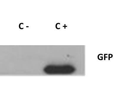 GFP Antibody - Anti-GFP Antibody - Western Blot. Western blot of GFP protein detected with polyclonal anti-GFP antibody. Wild type GFP (0.1 ug) was used to spike 30 ug of a HeLa whole cell lysate. This antibody detects a 27 kD band corresponding to the epitope tag GFP. A 4-20% Tris-Glycine gradient gel was used for SDS-PAGE. The protein was transferred to nitrocellulose using standard methods. After blocking with 5% BLOTTO in PBS, the membrane was probed overnight at 4C with the primary antibody diluted in 5% BLOTTO to 1:1000, followed by washes and reaction with a 1:10000 dilution of IRDye 800 conjugated Goat-a-Rabbit IgG [H&L] MX10 (. IRDye 800 fluorescence image was captured using the Odyssey Infrared Imaging System developed by LI-COR. IRDye is a trademark of LI-COR, Inc. Other detection systems will yield similar results.