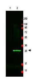 GFP Antibody - Anti-GFP Antibody - Western Blot. Western blot of GFP protein detected with polyclonal anti-GFP antibody. Lane 1 shows negative control staining of 20 ug of mouse spleen lysate. Lane 2 shows staining of mouse spleen lysate spiked with 50 ng of wt GFP. This antibody detects a 27 kD band corresponding to the GFP epitope tag commonly used in recombinant constructs. A 4-20% Tris-Glycine gradient gel was used for SDS-PAGE followed by transfer to nitrocellulose using standard methods. After blocking with 5% BSA in PBS, the membrane was probed for 2 h at room temperature with the primary antibody diluted in 5% BSA to 2 ug/ml, followed by washes and reaction with a 1:20000 dilution of IRDye800 Conjugated Affinity Purified anti-Chicken IgG [H&L] [Goat] MX10 (. The IRDye 800 fluorescence image was captured using the Odyssey Infrared Imaging System developed by LI-COR. IRDye is a trademark of LI-COR, Inc. Other detection systems will yield similar results.