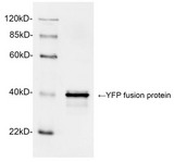 Western blot analysis of YFP fusion protein using 1 µg/ml Rabbit Anti-GFP Polyclonal Antibody The signal was developed with IRDye TM 800 Conjugated Goat Anti-Rabbit IgG. Predicted Size: 40 KD Observed Size: 40 KD
