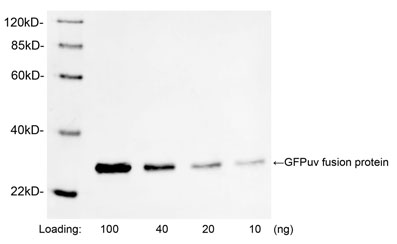 Western blot analysis of GFPuv fusion protein using 1 µg/ml Rabbit Anti-GFP Polyclonal Antibody The signal was developed with IRDye TM 800 Conjugated Goat Anti-Rabbit IgG. Predicted Size: 27 KD Observed Size: 27 KD