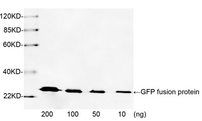 Western blot analysis of GFP fusion protein using 1 µg/ml Rabbit Anti-GFP Polyclonal Antibody The signal was developed with IRDye TM 800 Conjugated Goat Anti-Rabbit IgG. Predicted Size: 27 KD Observed Size: 27 KD