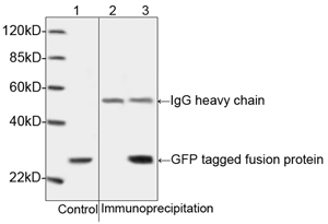 GFP Antibody - Western blot analysis of cell lysates containing GFP tagged fusion protein and its immunoprecipitates. 1: Cell lysates containing GFP tagged fusion protein as input control. 2: Immunoprecipitates of the cell lysates incubated with Rabbit IgG Control as negative control. 3: Immunoprecipitates of the cell lysates incubated with THE TM GFP Antibody, pAb, Rabbit.