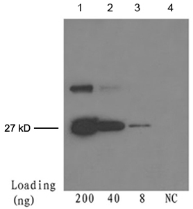 Lane 1-3: 200 ng, 40 ng, 8 ng GFP fusion protein Detection antibody: Mouse Anti-cGFP-tag Monoclonal Antibody LS-C51080 The Western blot was performed using One-Step Western Basic Kit with 4 ug of the antibody added to 4 ml WB solution.