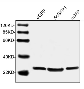 Specificity analysis of THETM GFP Antibody, mAb, Mouse LS-C51080 by Western blot of a variety of variants of GFP protein such as eGFP, cGFP and AcGFP1. The signal was developed with IRDye 800 Conjugated Goat Anti-mouse IgG.